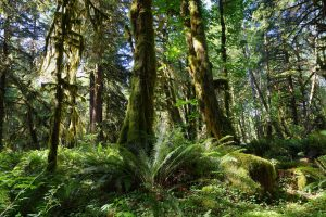 Quinault Forest